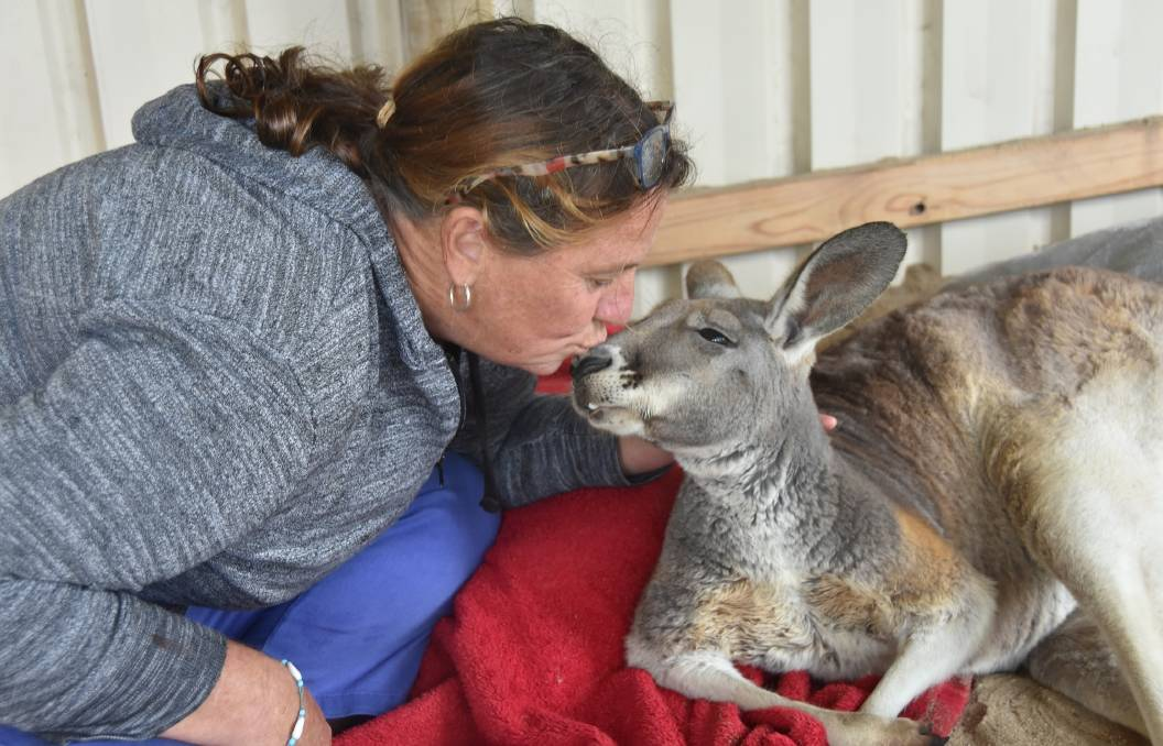 SMOOCH: Linda Davies gives rescued kangaroo Rocky a kiss on the nose at Two Songs Sanctuary in Port Lincoln.